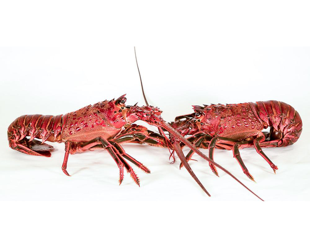 """So you\'re saying … we should live like lobsters?"""" or: Why does ..."""